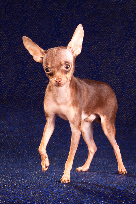Short-haired Russian Toy Terrier