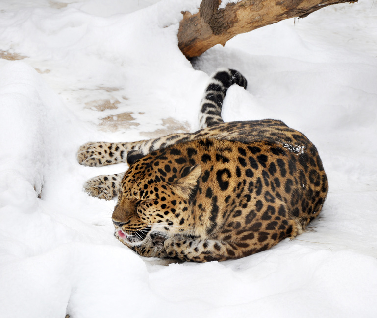 Photo Amur Far Eastern Leopard