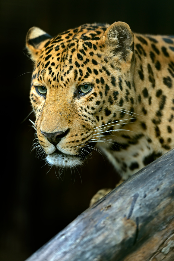 Photo Amur Leopard
