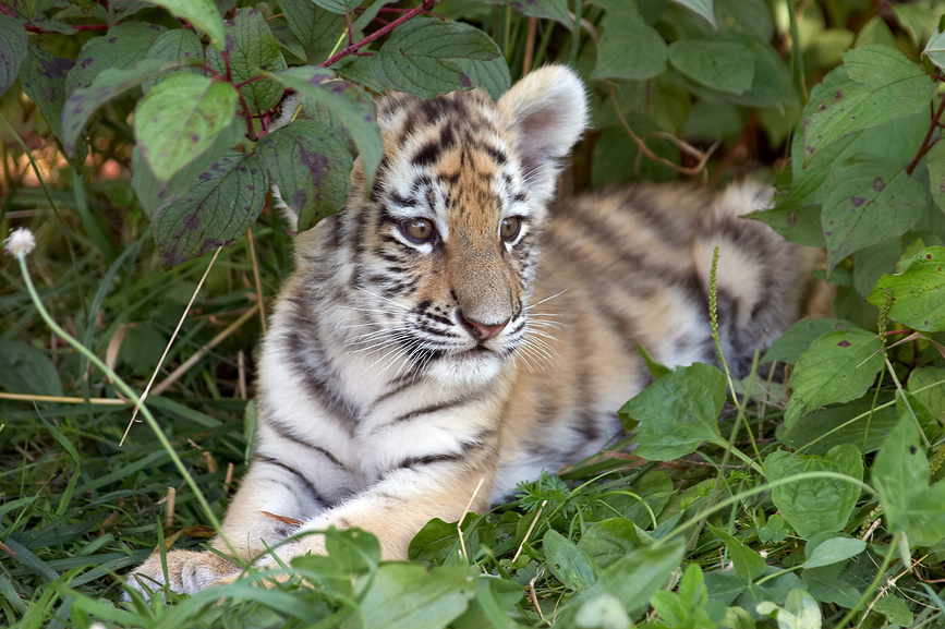 Photo Amur Tiger Cub Siberia