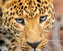 Amazing Facts about the Amur Leopard