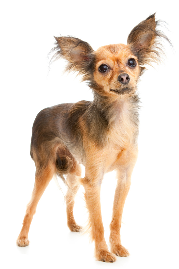 Long-haired Russian Toy Terrier